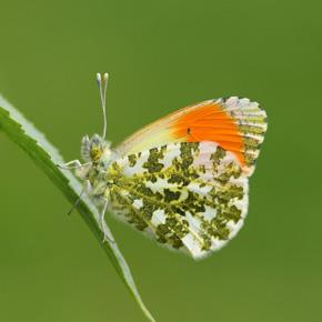 Orange Tip Butterfly 2 2
