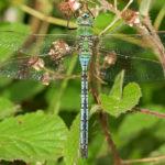 Emperor Dragonfly m dorsal. steve plume e1593774349793