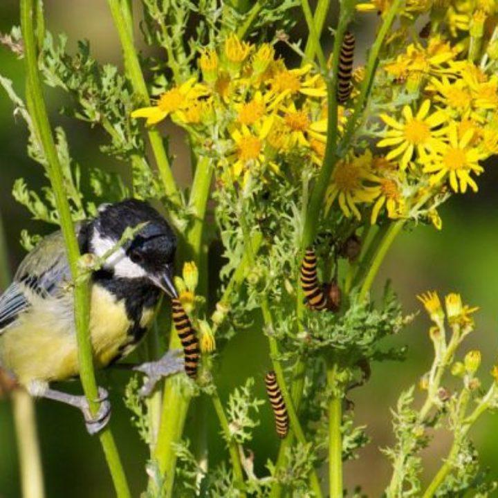 Great tit eating cinnabar moth caterpillars on ragwort 1200crop© Martin Bennett